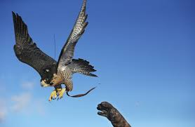 hunting-with-falcons